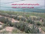 بزرگترین مزرعه تولید کننده آلوئه ورا در خاورمیانه