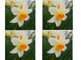 فروش گل نرگس به صورت عمده در سراسر کشور