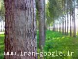مشاور در زمینه کاشت انبوه درخت صنوبر