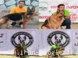 فروش سگ سیبرین هاسکی مو بلند و ژرمن شیپهرد مو بلند - آذربانی