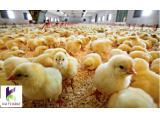 فروش ویژه خوراک مرغ