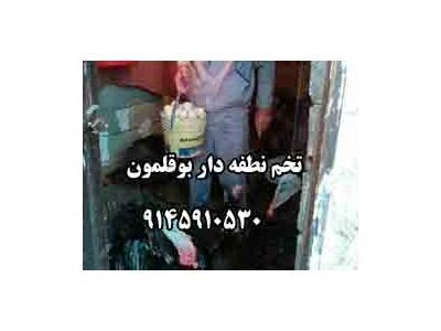 فروش تخم نطفه دار بوقلمون 9145910530