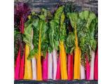 فروش بذر سوئيس چارد هفت رنگ