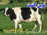 پرورش گاوهای شیری به صورت سی دی 8CD