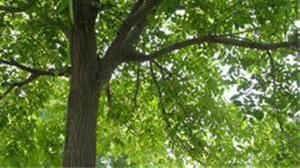 فروش پوست تنه درخت گردو و چوب گردو