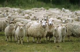 فروش  گاو و گوسفند زنده