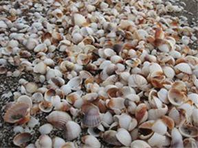 فروش عمده صدف دریایی تنگ ماهی قرمزسفره هفت سین