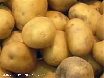 فروش بذر سیب زمینی رقم بانبا سانته اسپریت مارفونا