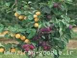 درخت چند نوع میوه،نهال ترکیبی
