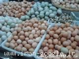 فروش وپخش تخم نطفه دار تمامی پرندگان