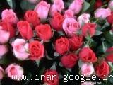 تولید کننده گل رز هلندی