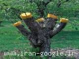پیوند انواع درختان