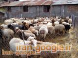 فروش گوسفند میش داشتی