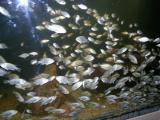 فروش بچه ماهی تیلاپیا