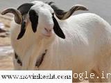 سی دی کامل پرورش گوسفند با کتاب رایگان
