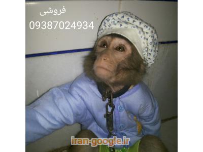 فروش میمون اهلی فارس