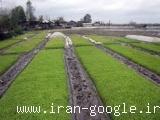 فروش مرغوب ترین برنج گیلان